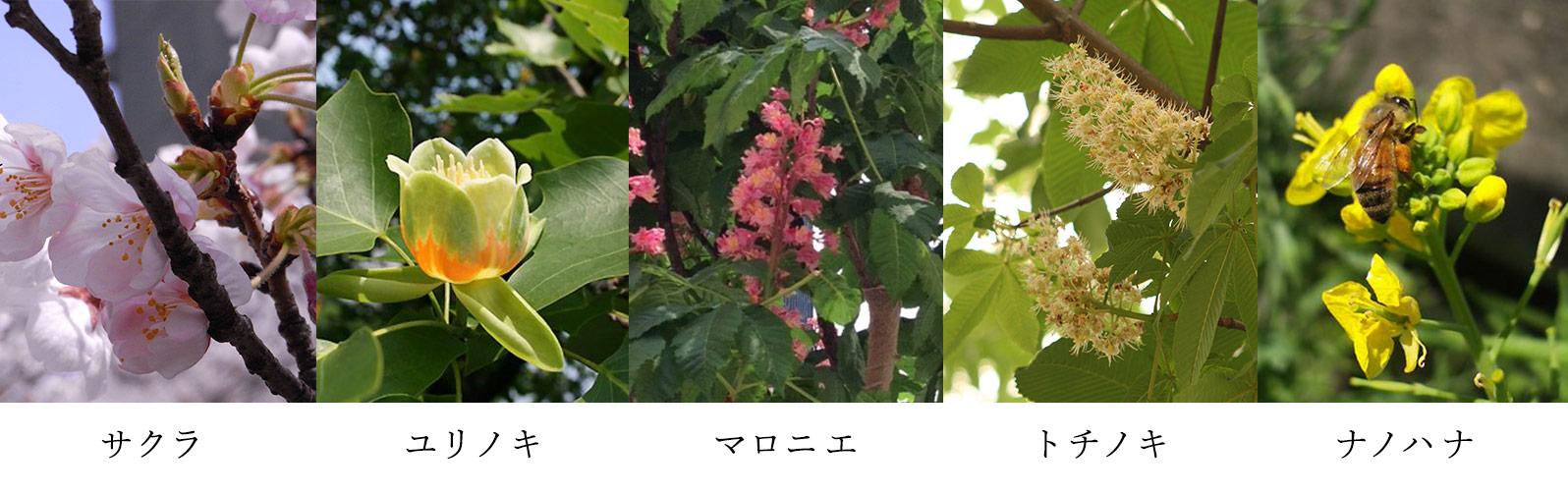 東京蜂蜜に含まれる花の蜜 花の一覧